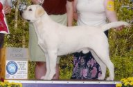 White male labrador retriever