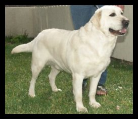 White Labrador Stud Male
