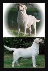 female white labrador retriever