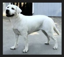 female white labrador retrieve