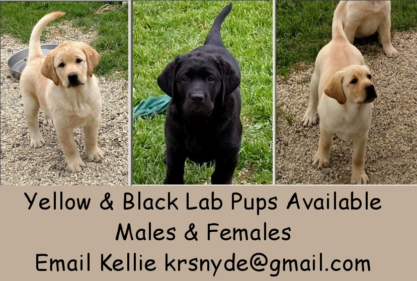 yelllow lab pups available, black lab puppies available, male lab pup, female lab puppy