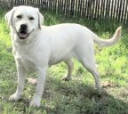 white female labrador retriever