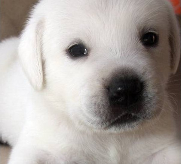 white purebred lab puppies for sale in california, white lab puppies, english lab puppies, lab pups, yellow lab pups